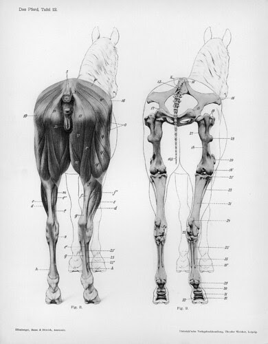 horse - posterior anatomical views