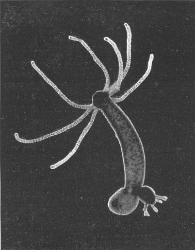 File:Hydra-Foto.jpg