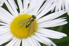 fly on fleabane