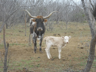 New Pure Longhorn Calf Natilla