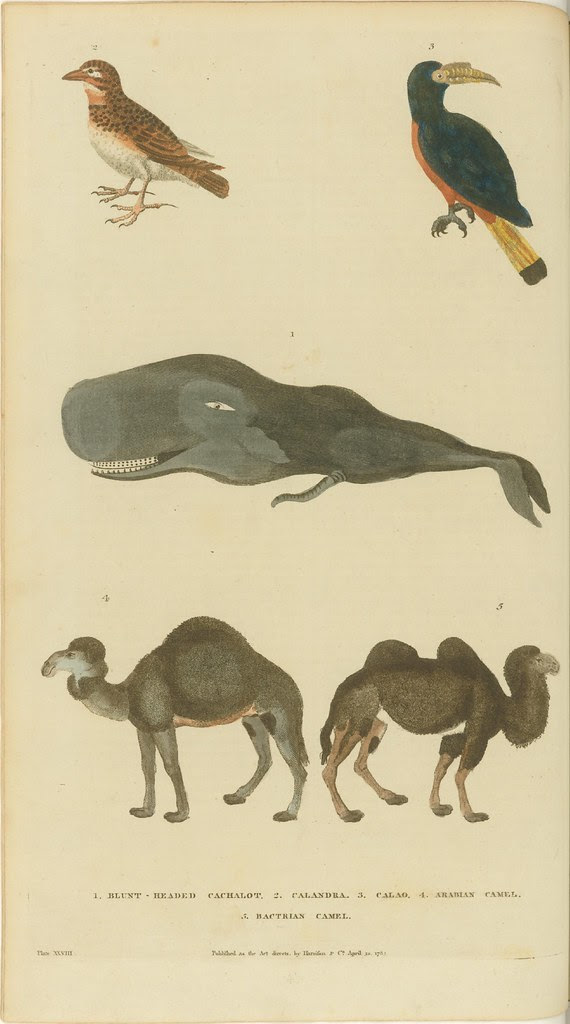 Birds, whale, and camels - 18th c. book illustration