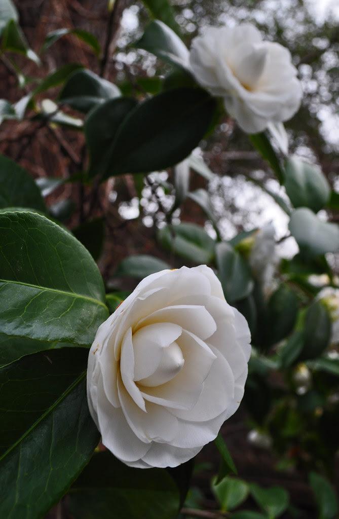 Camellia japonica 'Nuuccio's Gem' (3)
