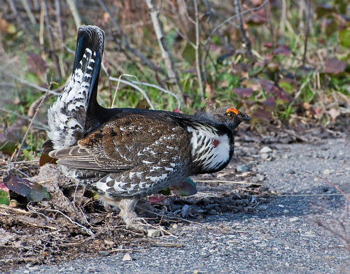Displaying Male Blue Grouse