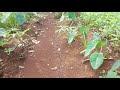 Heboh !! Tanaman Tumpang Sari Kacang Tanah Cabe Pepaya Kimpul Pohong Jagung