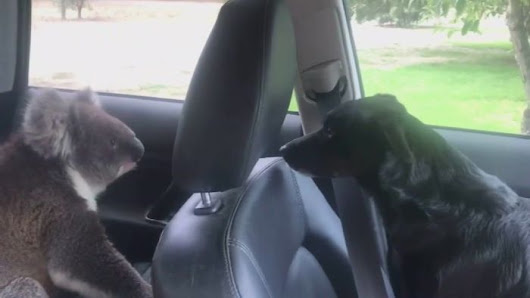 Koala makes itself at home inside air-conditioned car with curious canine passenger