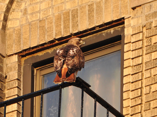 Washington Heights Hawk