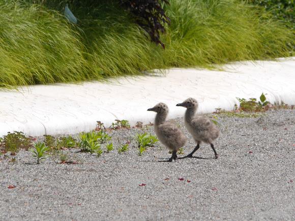 Ed Gaillard: birds &emdash; Baby Herring Gulls, Governor's Island