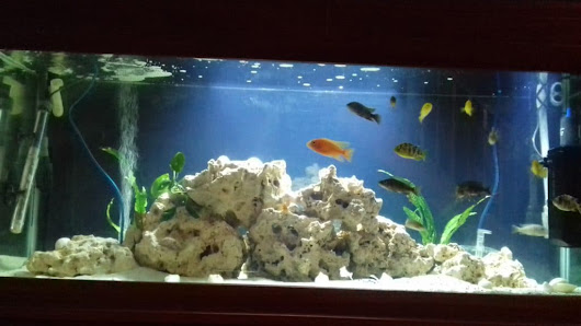 Mixed African Cichlid Tank 250L | Tropical Fish Site