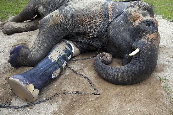 O elefante Motala com sua prótese