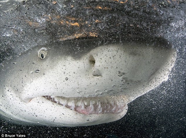 Give us a smile: The lemon shark gives a grin and picks up a Best Photography award for photographer Bruce Yates