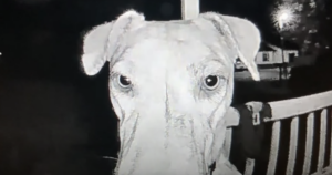 Lost Dog Rings Her Own Doorbell At 3am After Crazy Adventure