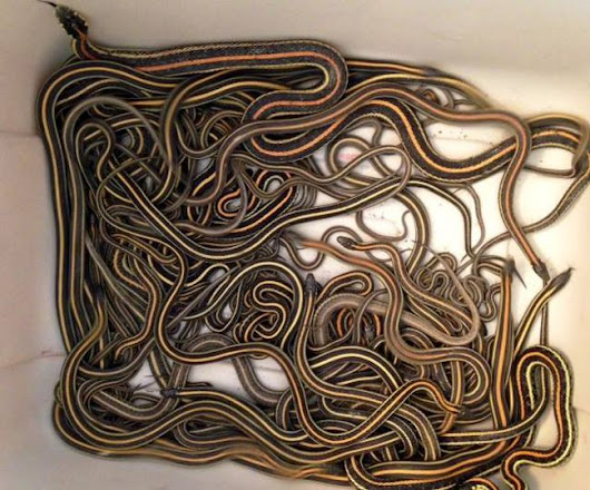 102 garter snakes removed from Regina home
