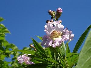 x Chitalpa tashkentensis 'Pink Dawn' - chitalpa