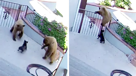 Guard dog, good dog! 20-pound pooch sends two bears running