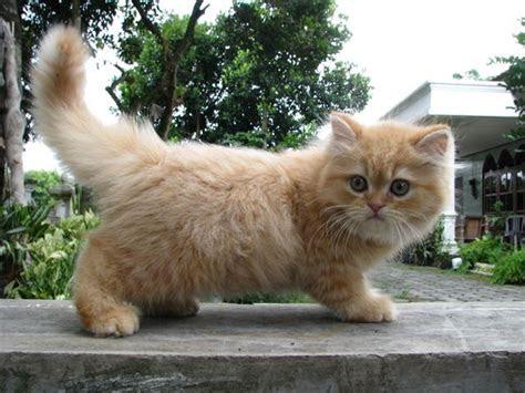 berternak kucing persia  baik blog rahman
