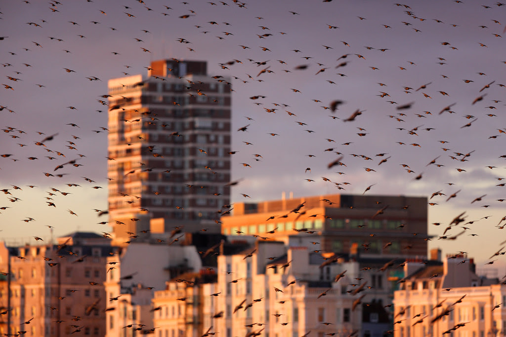 Starlings and Brighton City Centre
