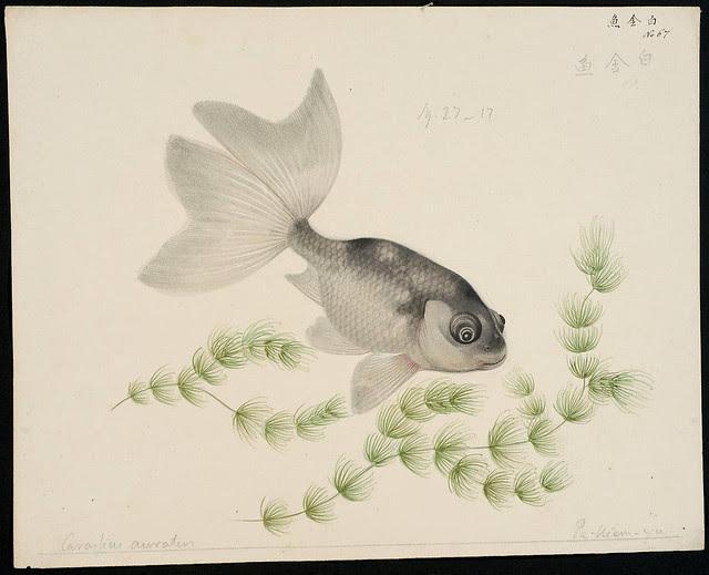 Carrasius auratus [Carrasius auratus (Linnaeus, 1758)]