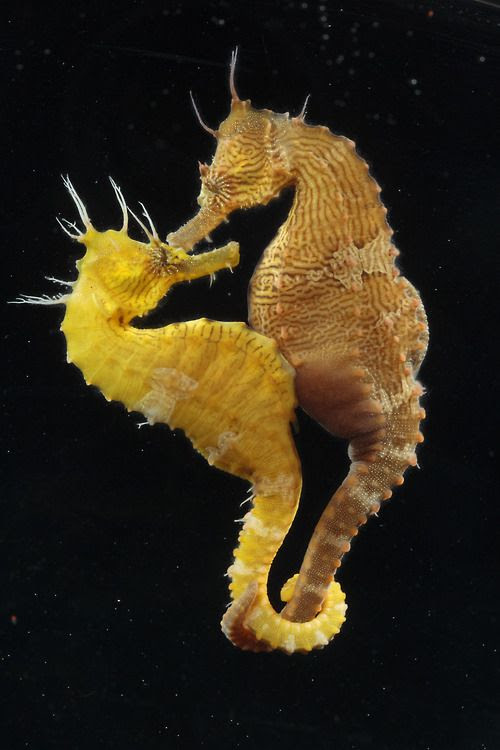 Sea Horses-  according to scientists all of them appear to practice some form of monogamy. After her eggs are fertilized, a female seahorse passes them to her male partner, who carries them in a pouch until they hatch. The males probably incubate one female's eggs at a time, and it appears that some species remain bonded throughout the breeding season and perhaps even longer.  (photo: Michael Bentley)