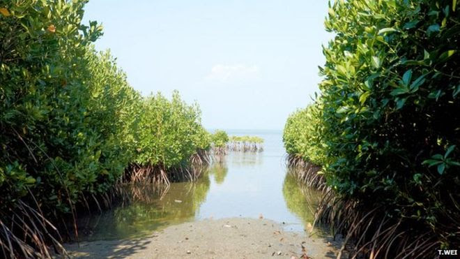 _82925637_seacology-mangroves-4