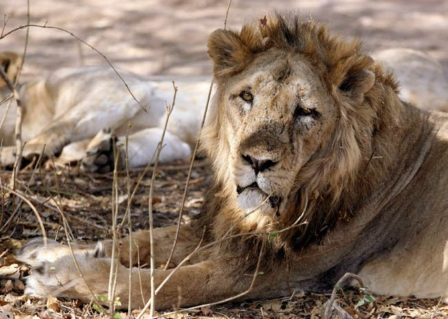 An Asiatic lion rests in Gir forest
