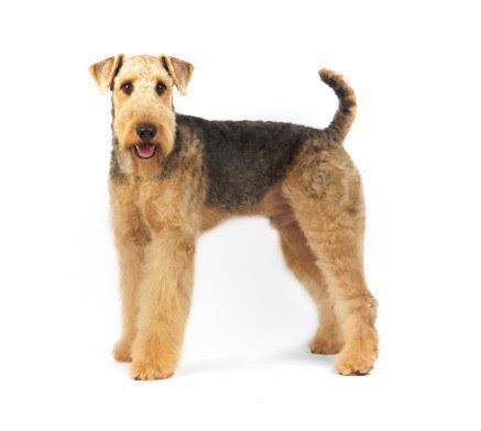lakeland terrier haircut  Haircuts Models Ideas