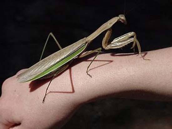 Τα 16 μεγαλύτερα έντομα στον κόσμο (14)