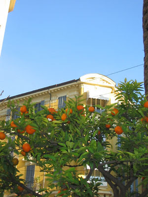 Orangers à vintimille