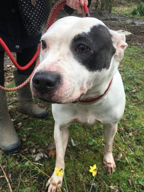 Annie – 2-3 year old female Staffordshire Bull Terrier Cross