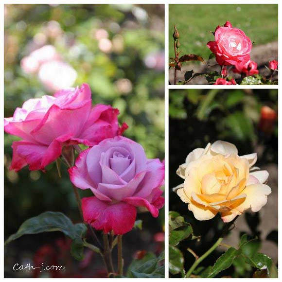 Rose Garden Invercargill Nzealand_10