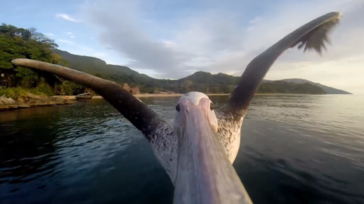 A pelican with a GoPro gives us a beak at the world below