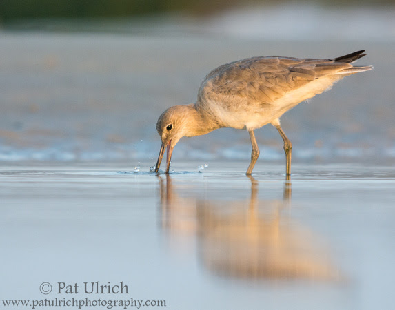 Wildlife Photography by Pat Ulrich: Willets &emdash; Willet feeds in morning light