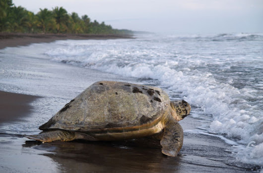 Contiki To Support Turtle Conservation in Costa Rica
