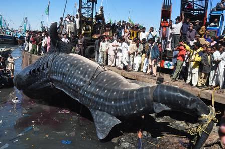 Pescadores paquistaneses encontram nesta terça-feira um tubarão-baleia