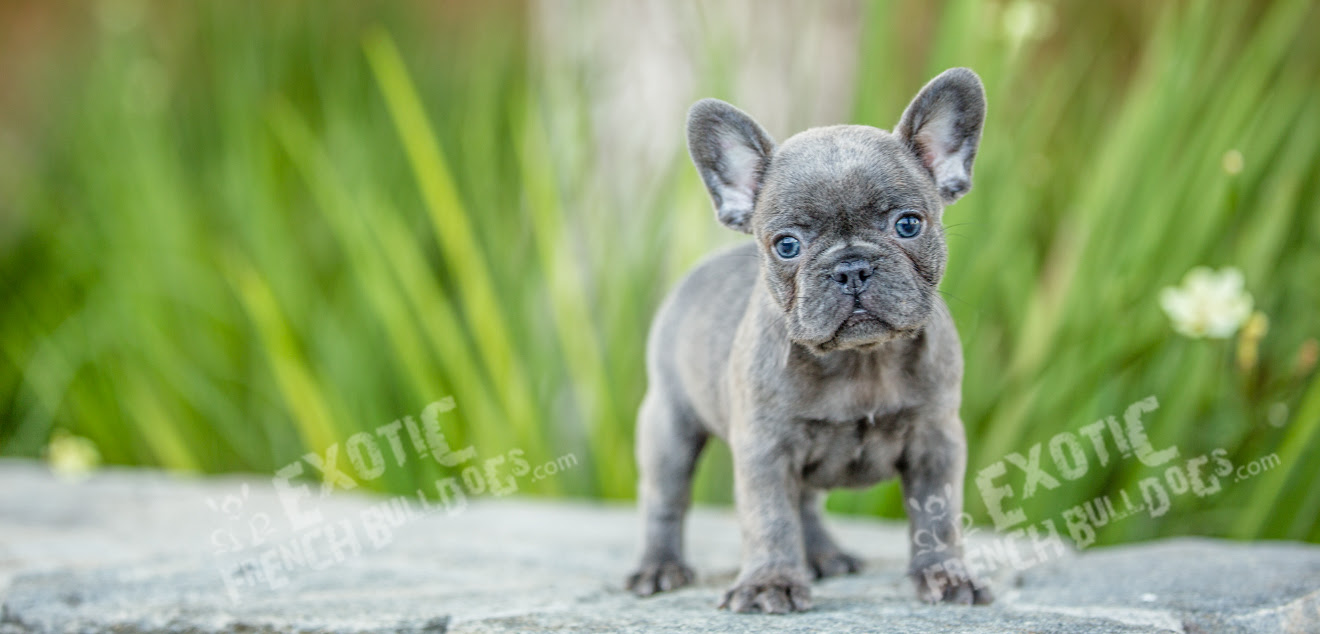 Teacup French Bulldog Puppies For Sale In Pa