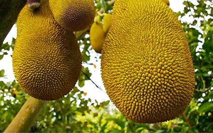 Why Is Jackfruit the New Meat Replacement? | Reader's Digest