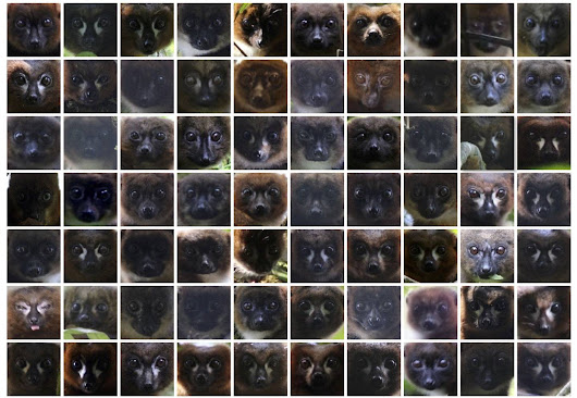 There is now facial recognition software for lemurs. Really