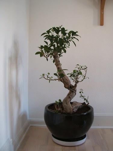 Ficus Bonsai Poker Bankroll Blog