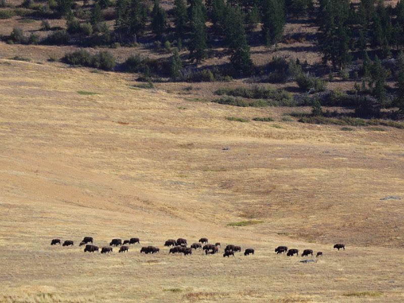 IMG_2538 Bison, National Bison Range