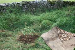 Newly planted oak