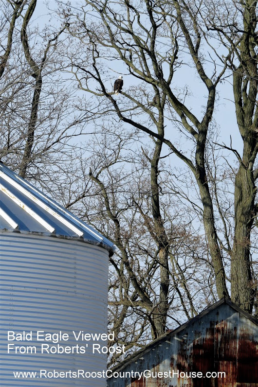Bald Eagles Visit Roberts' Roost Country Guest House