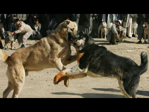 Kangal Dogs Bite Force