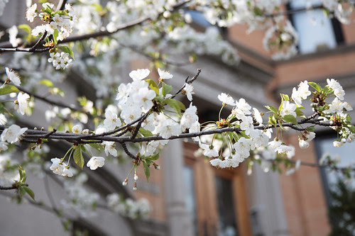 Dogwood in Park Slope