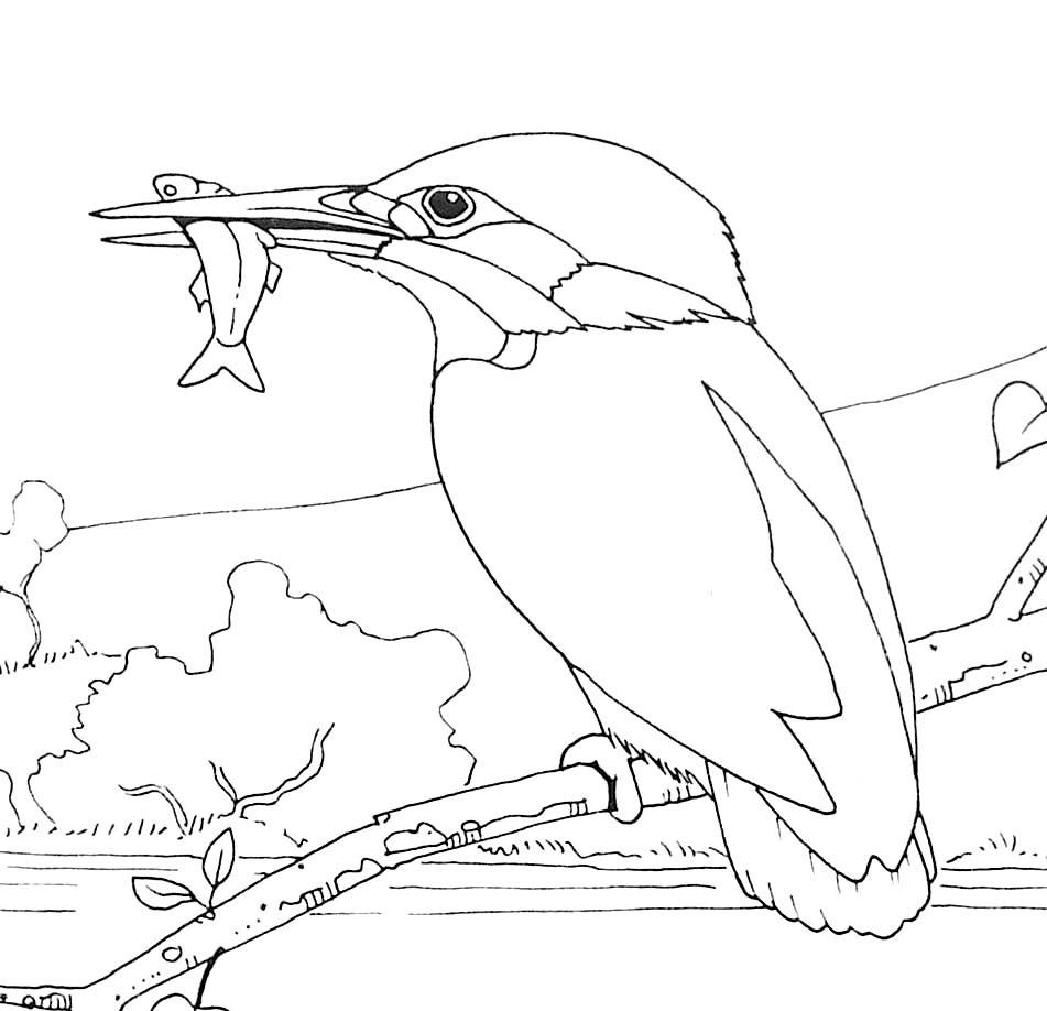 Coloriage d oiseau martin pªcheur