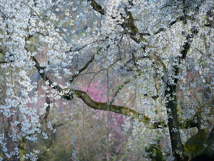 Imperial Blossoms, Japan