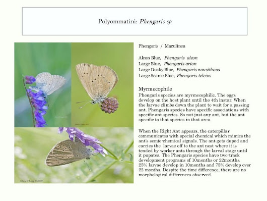 Know Your Butterfly: Phengaris