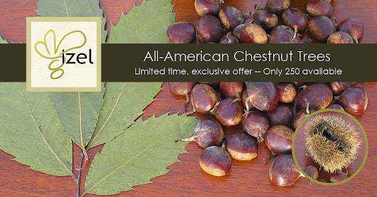 🌿 All-American Chestnut Trees -- Limited time exclusive offer