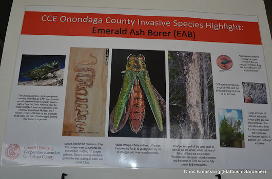 Emerald Ash Borer Discovered in Prospect Park