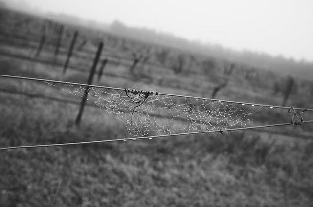 Foggy Vineyard 003