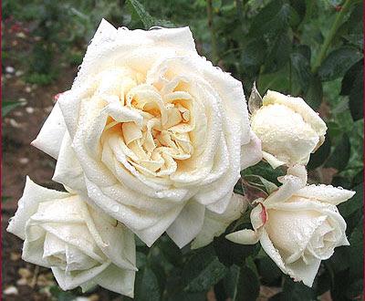 Роза Ilse Krohn Superior