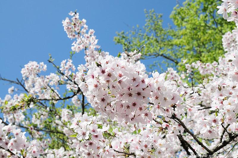 阿里山櫻花100